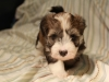 Woody_Brindle_Irish_Pied_Havanese_Puppy_IMG_2981