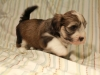 Woody_Brindle_Irish_Pied_Havanese_Puppy_IMG_3006