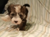 Woody_Brindle_Irish_Pied_Havanese_Puppy_IMG_3010