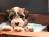 Woody_Brindle_Irish_Pied__Havanese_Puppies_IMG_2584