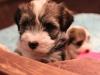 Woody_Brindle_Irish_Pied__Havanese_Puppies_IMG_2605