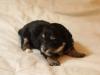 jesse-black-n-tan-havanese-puppy-img_1854