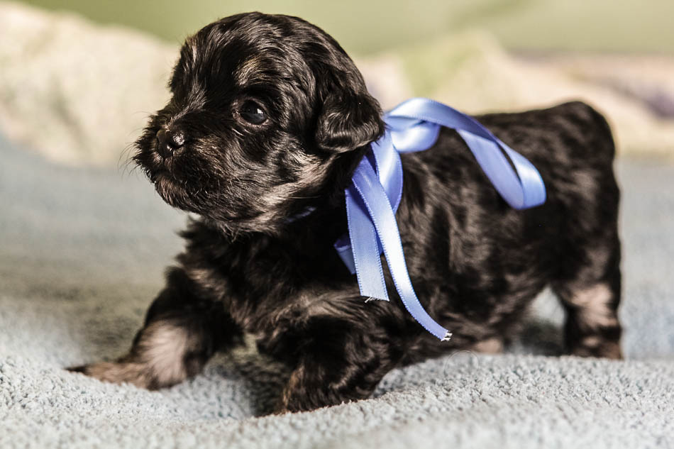 Havanese Puppies – Ready september 2017 | AKC Havanese Puppies