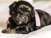 Duchess1-black-and-tan-havanese-puppy