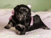 Duchess2-black-n-tan-havanese-puppy