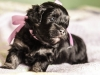 Duchess3-Black-n-Tan-Havanese-Puppy