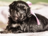 Duchess4-havanese-puppy