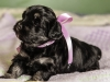 Duchess5-Havanese-Puppy