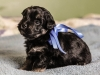 Duke1-havanese-puppy-black-and-tan