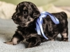 Duke2-black-and-tan-havanese-puppy