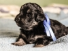 Duke3-havanese-puppy