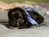 Duke4-havanese-puppies