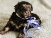 Noble1-havanese-puppy