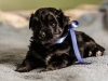 Noble2-havanese-puppy