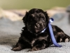 Noble3-black-n-tan-havanese-puppy