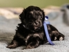 Noble4-havanese-puppy-black-and-tan