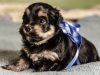 Prince1-Black-and-tan-havanese-puppy