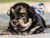 Prince2-havanese-puppy