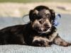 Prince3-havanese-puppy