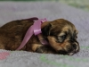 Princess1-Sable-Brindle-Havanese-Puppy