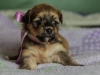 Princess2-sable-brindle-havanese-puppy