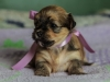 Princess3-havanese-puppy