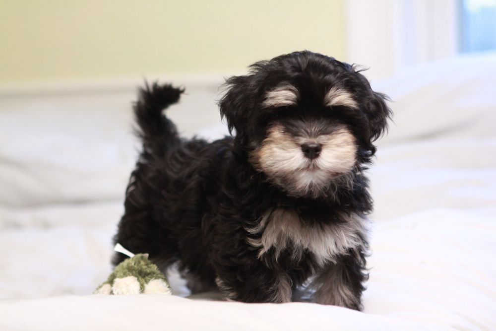 •Alvin the Great… Black & Tan Havanese Puppy UNAVAILABLE ...