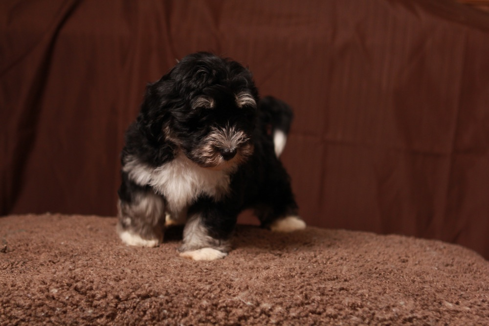 Buzz, Black & Tan w/ White Markings Havanese Puppy ...