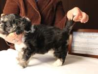 Buzz-Black-and-Tan__Tri-Color-Classic_Havanese_PuppyIMG_3167