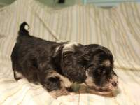 Buzz_Black_and_Tan_Pied_Havanese_Puppy_IMG_2842