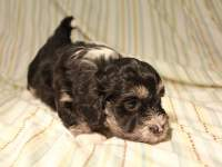Buzz_Black_and_Tan_Pied_Havanese_Puppy_IMG_2869