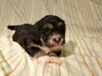 Buzz_Black_and_Tan_Pied_Havanese_Puppy_IMG_2922