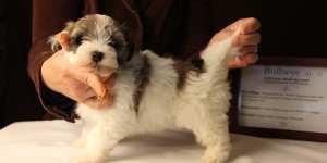 Bullseye-Gold-Sable-Parti-Havanese-Puppy_