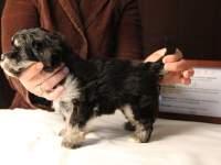 Jesse-Black-and-Tan-Havanese-Puppy_IMG_3230