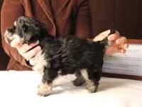 Jesse-Black-and-Tan-Havanese-Puppy_IMG_3233