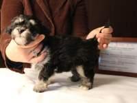 Jesse-Black-and-Tan-Havanese-Puppy_IMG_3236