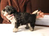 Jesse-Black-and-Tan-Havanese-Puppy_IMG_3233