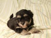 Jesse_Black_and_Tan_Havanese_Puppies_IMG_2768