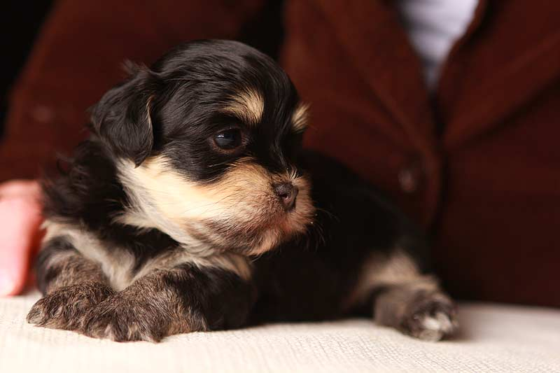 "Gold Sable Brindle Female Havanese Puppy ""Eleanor ..."