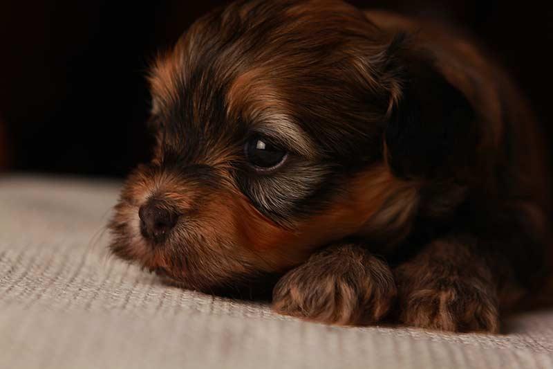 Eleanor-goldsable-brindle-havanese-puppy-IMG_9375