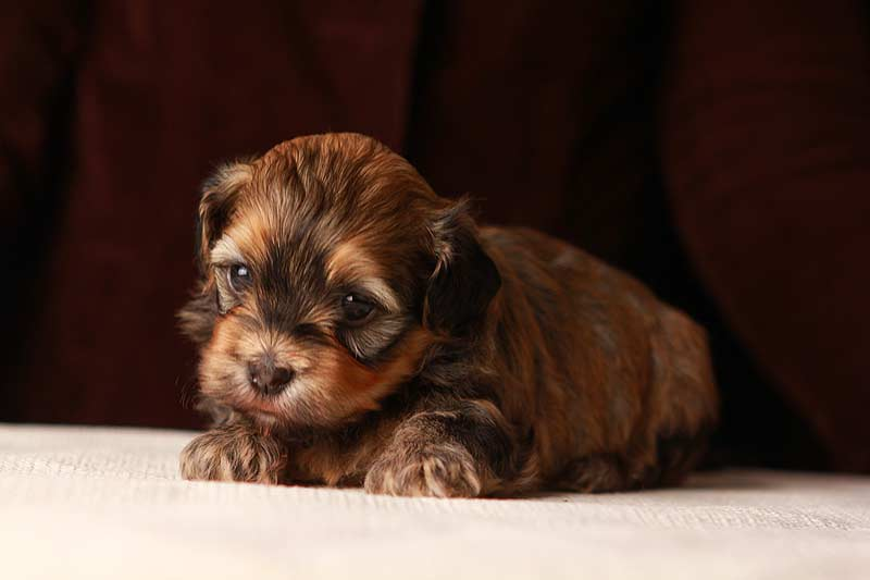 Eleanor-sable-brindle-havanese-puppy-IMG_9352