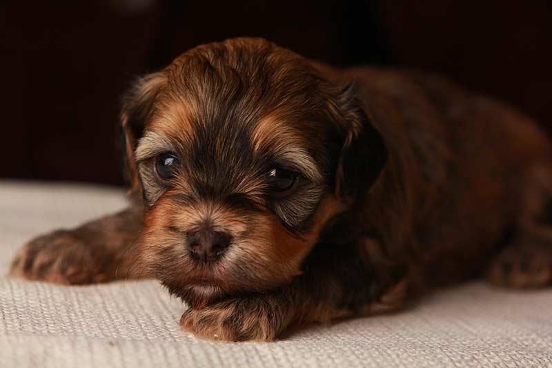 Eleanor-sable-brindle-havanese-puppy-IMG_9396