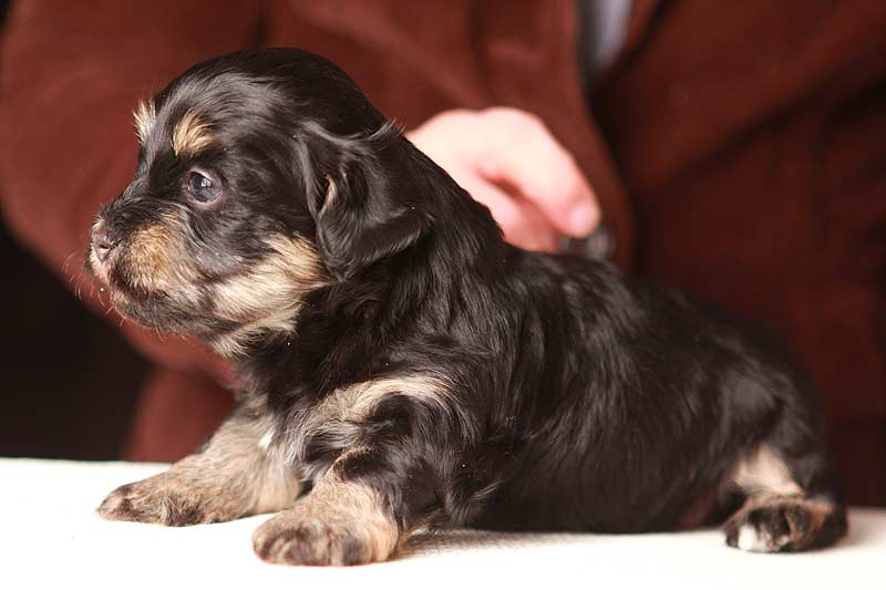 Simon-havanese-puppy-black-and-tan-IMG_9150