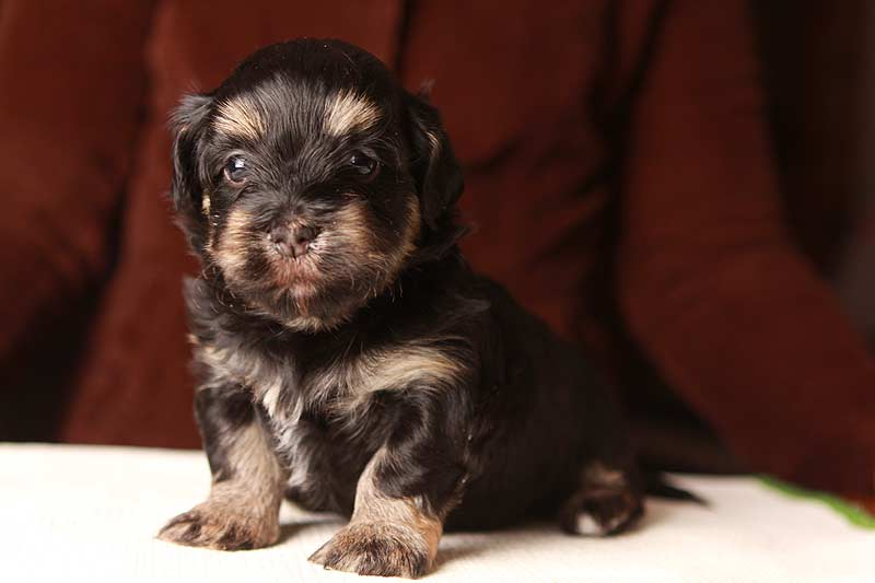 Simon-havanese-puppy-black-and-tanIMG_9197