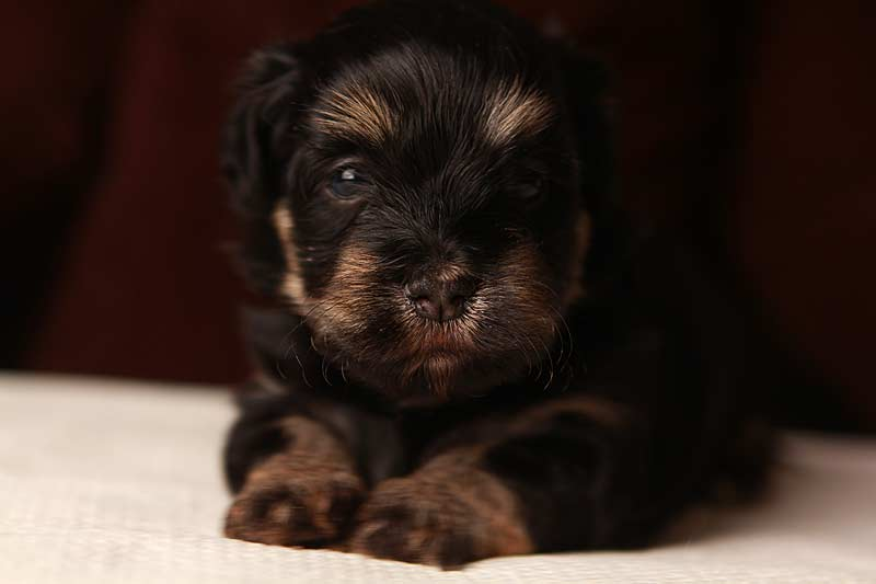 Simon-xcu-havanese-puppies-IMG_9223