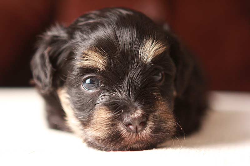 Simon-xcu-havanese-puppy-black-and-tan-IMG_9112