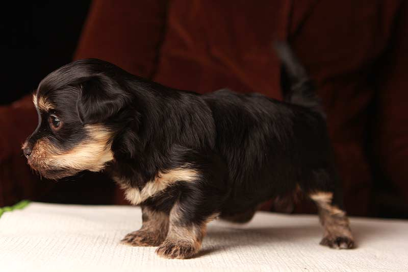 Theodore-havanese-puppies-black-and-tanIMG_9252