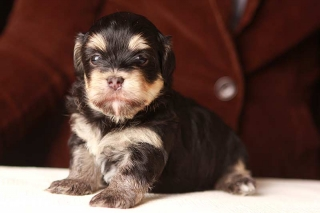 Alvin the great (Black and tan Havanese Puppy)