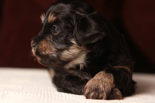 Simon the King... Black and Tan Havanese Puppy