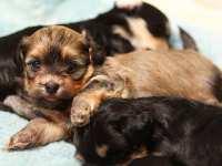 Eleanor-lounging-Havanese-Puppy-IMG_8977